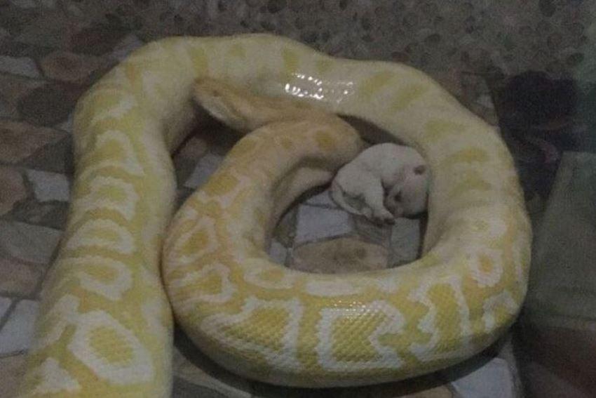 Kejam, kebun binatang di China jadikan anak anjing sebagai santapan ular piton